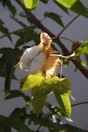 Pima cotton boll