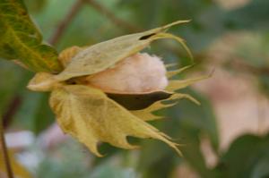 Cotton2008_06