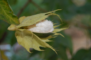 Cotton2008_07