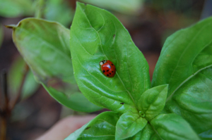 Lady bug in the sweet basil