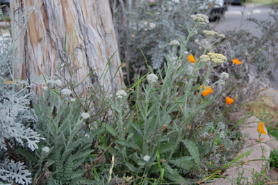 Dusty Miller, CA Poppy and Yarrow