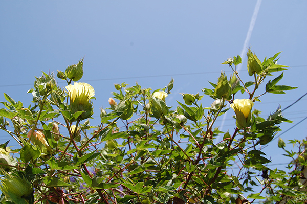 Cotton blooms