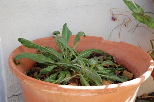 woadinplanter01